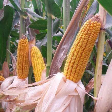 Semilla Maiz Reserve Oleokelsa