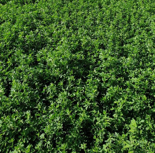 Alfalfa Alcor 2 Forraje Oleokelsa