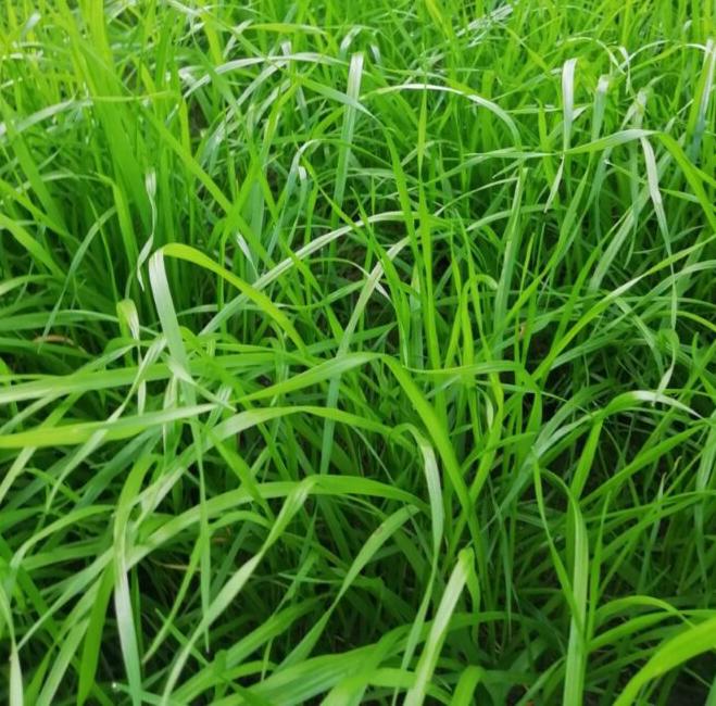 Ray-grass-SALAM Forraje Oleokelsa