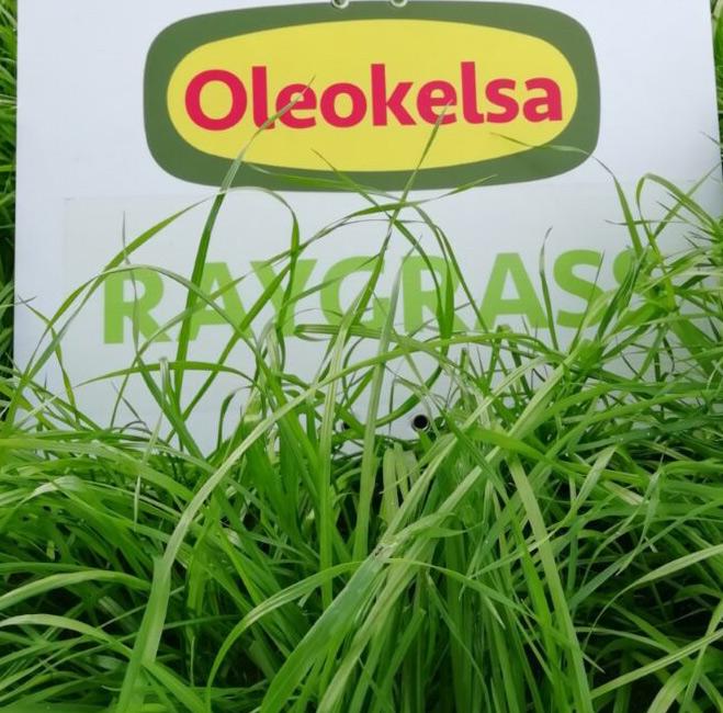 Ray-grass SALAM Forraje Oleokelsa